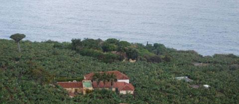Plataneras en la costa de San Juan de La Rambla