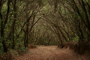 Fayal brezal, Tacoronte